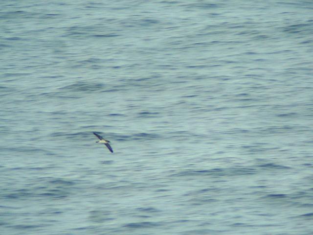Noordse pijlstormvogel 100818 1