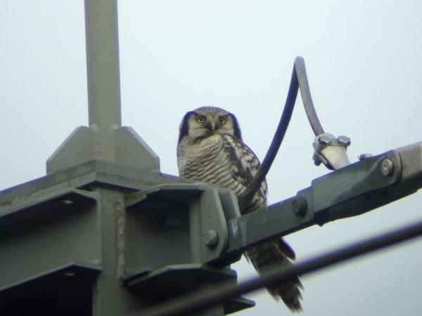 Sperweruil – Northern Hawk Owl