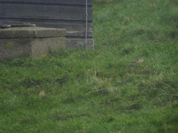 Grote pieper – Richard's Pipit