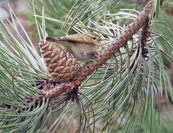 Humes bladkoning – Hume's Leaf Warbler (Foto René van Rossum)