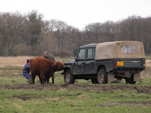 Schotse Hooglander – Highland Cattle