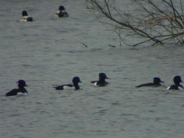 Ringsnaveleend – Ring-necked Duck