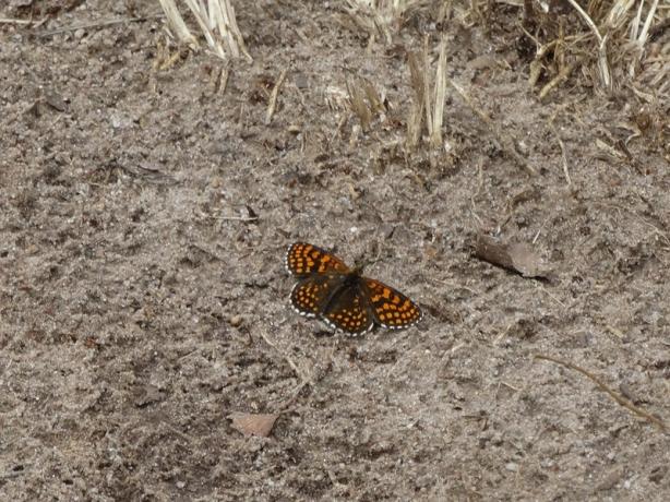 Bosparelmoervlinder – Heath Fritillary