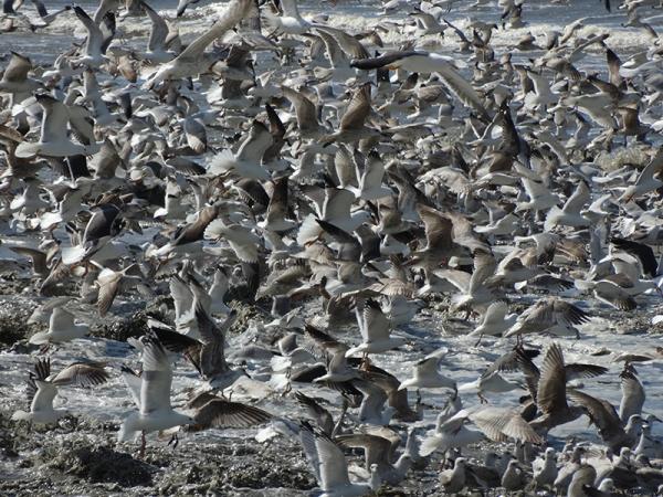 Meeuwen – Gulls