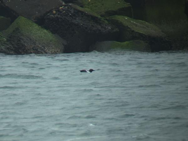 Zwarte zeekoet - Black Guillemot