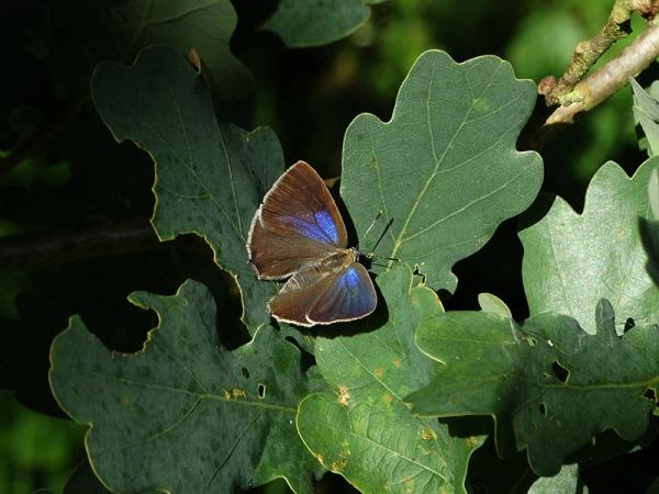 Eikenpage - Purple Hairstreak - Favonius quercus